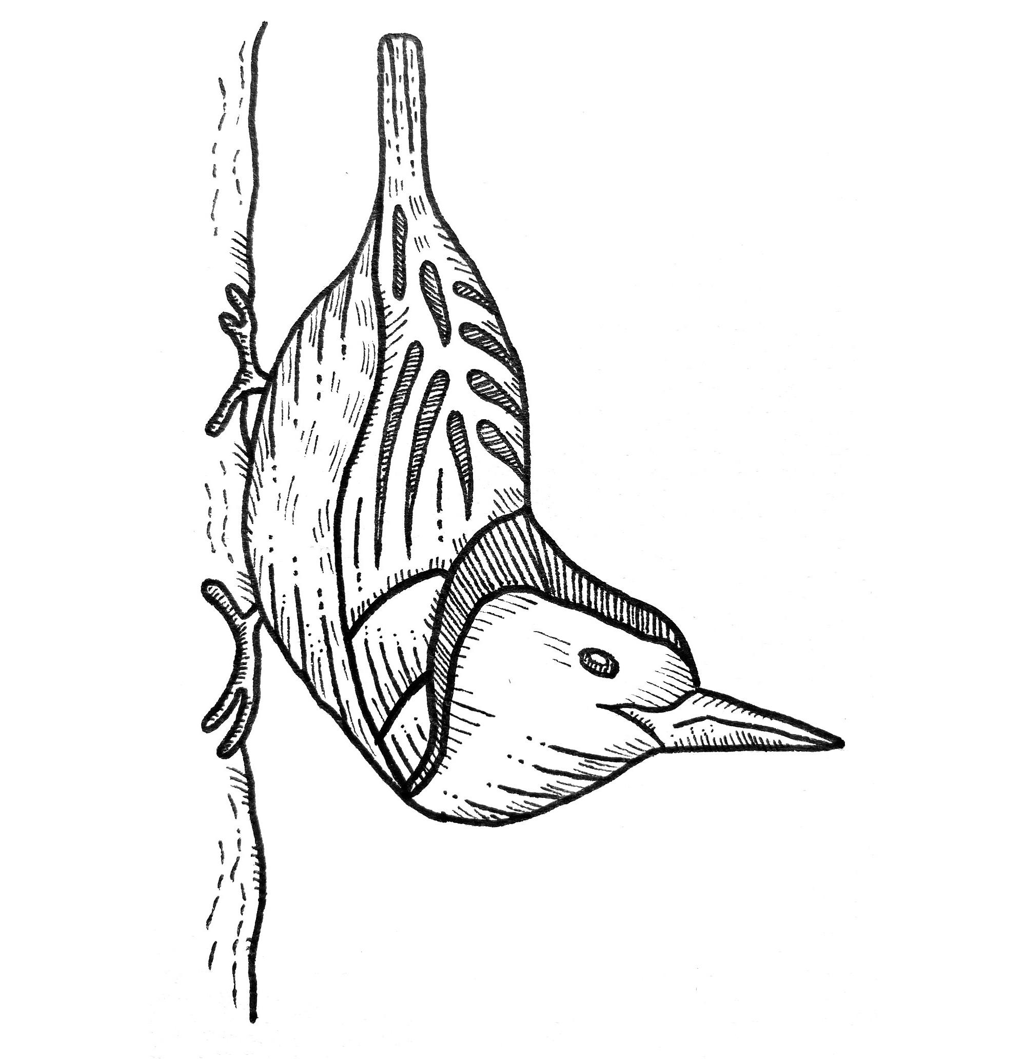 Nuthatch bird drawing