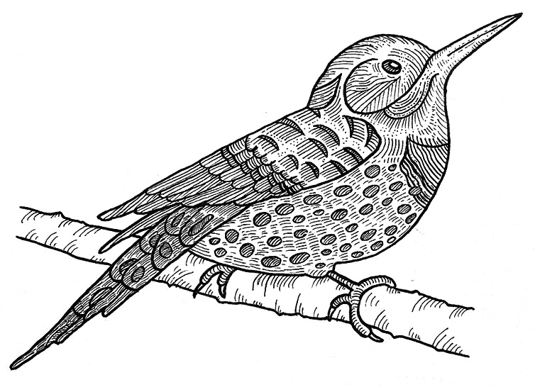 Northern flicker drawing