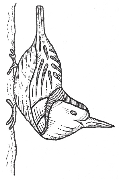 White breasted nuthatch drawing